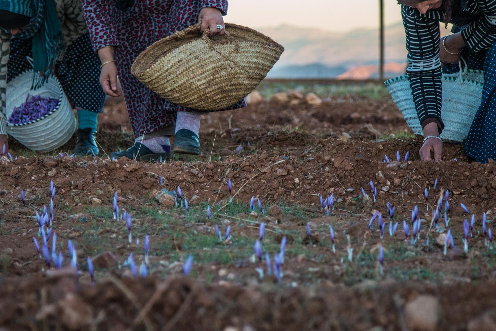 Développement des filières du safran et du palmier dattier dans la région Souss-Massa-Drâa