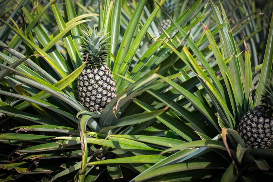 88 coopératives et 35 producteurs bénéficient de la subvention de dessouchage, labour et plantation de rejets d'ananas de qualité pour une superficie