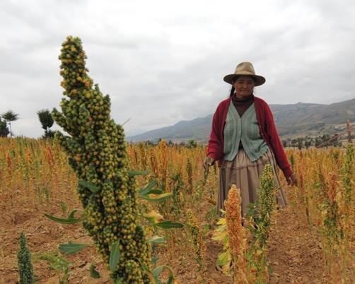 La Quinua, una nueva alternativa de producción en el Municipio de Totora, Departamento de Cochabamba