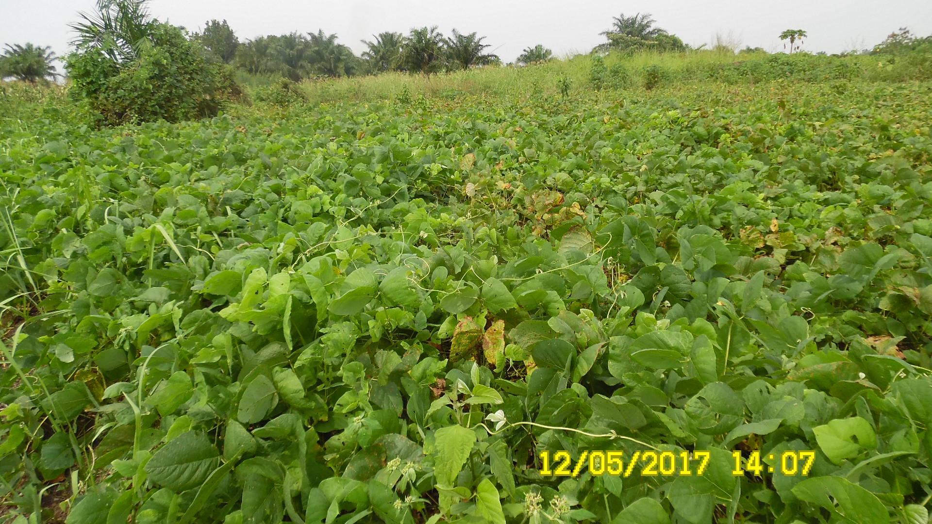 Les engrais verts : solution pour l'amélioration de la qualité des sols agricoles